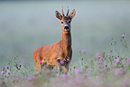 Roebuck in a meadow in the early morning France (Roe deer )