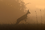 Jump of a Chevrette surprised at sunrise in summer  (Roe deer)