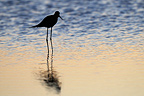 Black-winged Stilt feeding at dawn in a pond Aude (Black-winged Stilt)