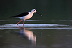 Black-winged Stilt feeding at sunrise in a pond Aude (Black-winged Stilt)