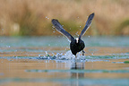 Continued Common Coot on the surface of the water (Common Coot)