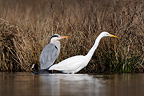 Great Egret Grey herons and Common Coot� (Great Egret; Grey heron; Common Coot)