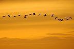 Flights from Common Crane at dusk on Lake Der (Common Crane)