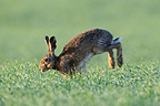 European Hare running in a field and dew France (European Hare )