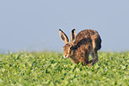 European Hare running in a field of Medick France (European Hare)