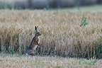 European Hare in aguets in a field of grain France (European Hare )
