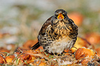Fieldfare eating fallen apples on the ground in winter (Fieldfare)