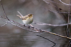 Common Chiffchaff seeking his food in a pond (Siberian Chiffchaff)