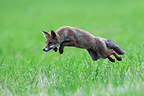 Mulotage of a fox to catch a vole�France (Red fox)