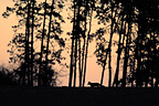 Silhouette of a red fox on the hunt before dawn (Red fox)