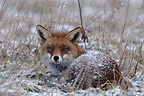 Red Fox at rest in a fallow under the snow shower (Red fox)