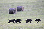 Eurasian Wild Pig crossing a field at dusk France (Wild boar)