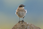 Northern Wheatear male perched on a pile of rocks France (Northern wheatear)