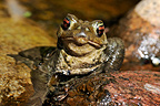 Common toad in a pond Limousin France  (European toad)