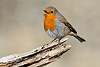 Robin singing on a dead branch Limousin France  (European Robin)