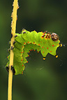 Caterpillar of Indian Moon Moth on walnut leaves�
