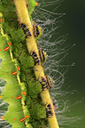 Feet of Caterpillar of Indian Moon Moth on walnut leaves�