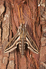 Silver-Striped Hawk-moth on Pine trunk Poitou France