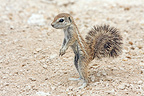 South African Ground Squirrel near burrow Etosha NP (South african ground squirrel)