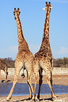 Young male giraffes measuring their strength Etosha NP (Giraffe)