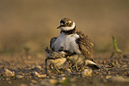 Little Ringed Plover with chicks huddled under her wings (Little ringed plover)