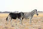Zebra with abnormal coat rubbing against another Namibia (Burchell's zebra )