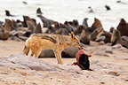Black-backed Jackal eating newborn Afro-Australian Fur Seal (Black-backed jackal)