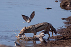 Black-backed Jackal capturing a Dove Etosha NP (Back-backed jackal)