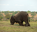 Young African Elephant and trunk in a hole (African elephant)