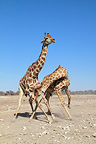 Mock battle between two young male giraffes Etosha NP (Giraffe)