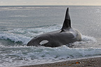 Killer Whale (Orca) retiring back to deeper water after beaching itself to hunt sea lions on seashore, La Ernestina, Patagonia.