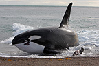 Killer Whale (Orca) hunting Sea Lions by beaching itself on the seashore, La Ernestina, Patagonia.