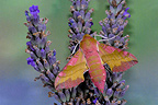 Large Elephant hawk-moth on lavender flower France