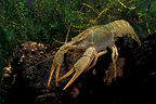 Narrow-clawed Turkish crayfish in a pond Belgium (Narrow-clawed Turkish crayfish)