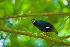 Hill Myna on a branch Bornéo Malaysia (Hill Myna)