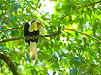 Male Wreathed Hornbill on a branch Bornéo Malaysia (Wreathed Hornbill)