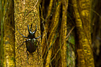 Rhinoceros Beetle on trunk Borneo Danum Valley Malaysia