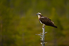 Osprey on a Pine tree Finland� (Osprey)