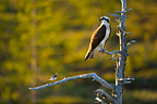Osprey and Pied Wagtail on a Pine tree Finland  (Osprey; Pied Wagtail)