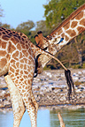 Male giraffe testing the receptivity of a female PN Etosha (Giraffe)