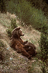 Female brown bear nursing her cubs Spain (Brown bear)