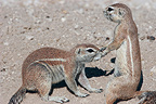 Tender meeting between South African Ground Squirrel (South african ground squirrel)