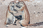 Tendre meeting between South African Ground Squirrel (South african ground squirrel)