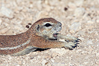 South African Ground Squirrel yawning and stretching Namibia (South african ground squirrel)