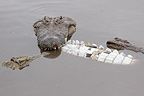 Cannibalism among adult Nile Crocodiles Kruger Park (Nile Crocodile )