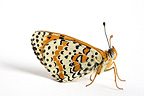 Spotted Fritillary male in studio