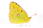 Clouded yellow female in studio