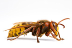 European hornet in studio (wasp)