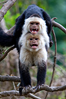 Two White-throated Capuchin in a tree