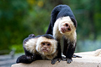 Two White-throated Capuchin looking at photograph (White-throated Capuchin)